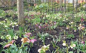 mulch can can also look attractive as with this bed of hellebores and snowdrops