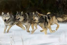 gray wolf pack playing. Beautiful Playing Gray Wolves On Wolf Pack Playing A