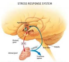 Hpa Axis Hpa Axis And Panic Anxiety
