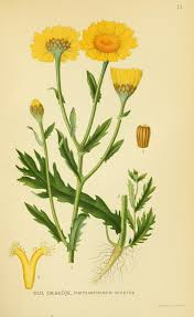 Glebionis segetum - Wikipedia, la enciclopedia libre