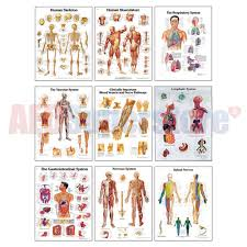Scientific Chart 3b Scientific Anatomical Chart Set
