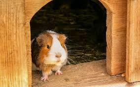 6 alternatives to guinea pig bedding