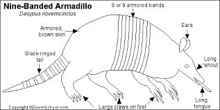 Small Picture Nine Banded Armadillo Printout EnchantedLearningcom
