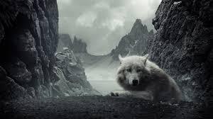 Wolf Hintergrundbild Wolf Ultra Hd Desktop Background
