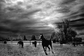running horses black and white. Simple White Beautiful Horses Photograph  Running Black White Surreal Nature  Landscape By Kathy Fornal Intended And