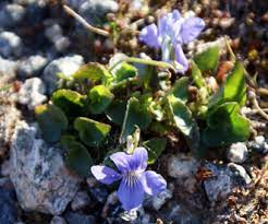 Violet canina - Heath Dog Violet - Western Isles Wildflowers and Plants -  Flowers of The Hebrides