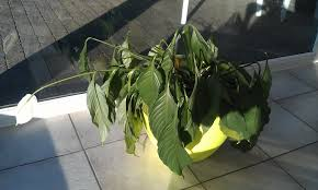 Light For Peace Lily Can This Peace Lily Be Saved Gardening Landscaping