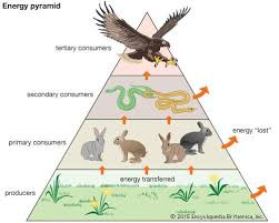 animal food pyramid. Perfect Food Trophic PyramidTrophic Pyramid Also Called An Energy Showing The  Progression Of Food Energy Encyclopdia Britannica Inc Throughout Animal Food Pyramid O