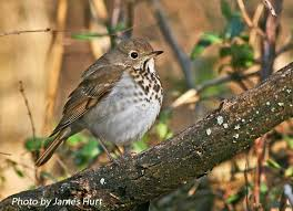 Tennessee Watchable Wildlife | Hermit Thrush - Habitat: FOREST