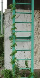 Fuchsia U0027Lady In Blacku0027 Climbing Vine  Fuchsia  Pinterest Climbing Plant