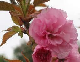 Картинки по запросу sakura zied