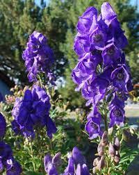 นิยาย ชื่อและความหมายของดอกไม้ l ต้นไม้ l พืช > ตอนที่ 43 : Aconite or  Aconitum อะโคไนต์,อะโคนิทัม ราชีนีแห่งดอกไม้พิษ : Dek-D.com - Writer