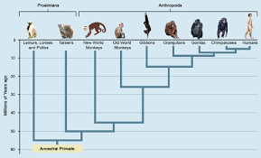 Primate Classification And Evolution Ck 12 Foundation