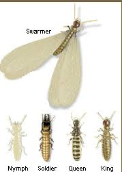 why do termites lose their wings