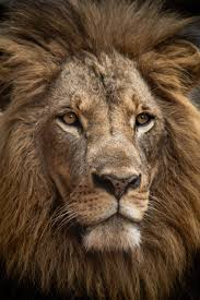 Lion Wallpapers: Free HD Download [500+ ...