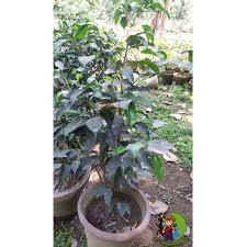 black ficus tree plant