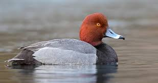 Name for redhead duck