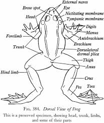 External organs landmark of the frog diagram anatomynote