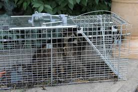 Image result for rabbit raccoon