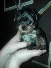 yorkshire terrier mini toy plateadas cargando zoom