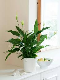 Splendid Best Bathroom Plants 50 Best Bathroom Plants Australia ...