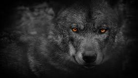 wolf eyes in the dark. Interesting Dark Wolf Looking Around With Fiery Eyes Abstract Closeup Of Wolf In The Dark  Looking Around In The Dark E
