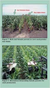 How Corn Hybrids Are Developed Farmwest