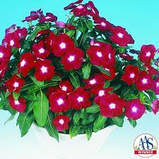 vinca jaio dark red 2003 aas bedding plant winner a really red vinca with