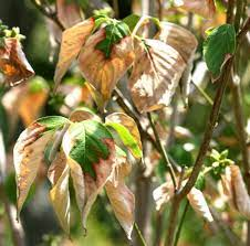 dogwood diseases insect pests home