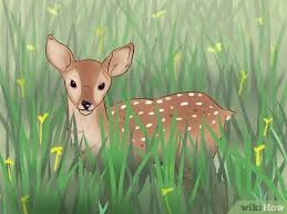 Fawn Age Chart 3 Ways To Tell A Fawns Age Wikihow