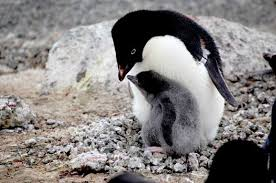 Image result for adelie penguins