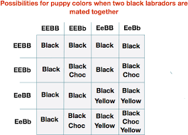 Labrador Color Chart Download Two Black Labs Labrador Color Chart Png Image