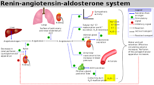 Pathway Of Blood Flow To The Right Kidney Flow Chart Renin Angiotensin System Wikipedia