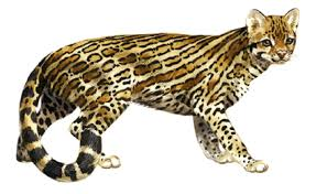 ocelot size wildlife of the rainforest licensed for non commercial use only