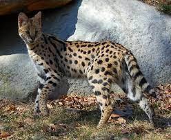 serval | Le Serval - Ecologie.ma