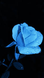 Blue Roses Pictures [HD]