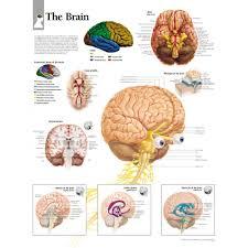 Brain Chart The Brain Chart