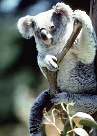 phascolarctidae koalas wildlife journal junior koala