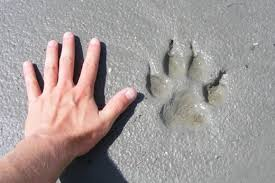 hand paw average foot size
