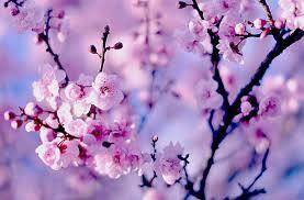Close Up Macro Nature Flower Cherry Blossom Wallpaper