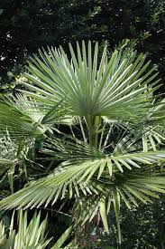 fan palm trees. chinese fan palm tree (livistona chinensis) trees ,