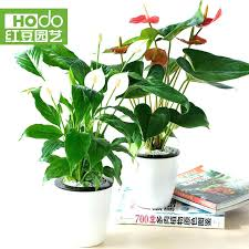 office plants no light. Office Plants Low Light Indoor Get Quotations A White Palm Smooth Four Seasons . No