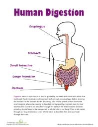 Digestive System Flow Chart Worksheet All About The Digestive System Lesson Plan Education Com