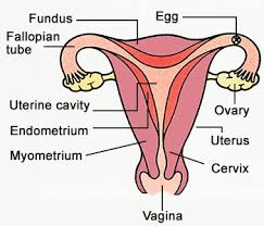 Female Reproductive System Chart Labeled Female Reproductive System Diagram Jpg The