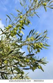 Wild Olive Tree Fruit