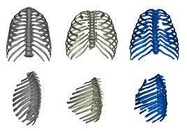 thorax of the Turkana Boy ...