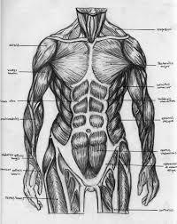 Free Download Torso Muscular Chart By Badfish81 828x1040