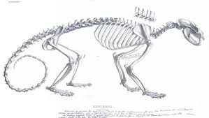 Small Picture Classic Skeleton Illustrations Binturong Anatomy Pinterest