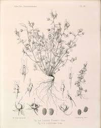 Linaria reflexa — Wikipédia