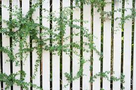 Climbers And Wall Shrubs For SunRHS GardeningClimbing Plants For Fence